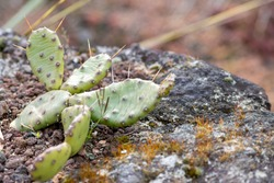 Green spiky cactus with long thorns is perfectly protected and adapted to deserts and dry climate due to its succulent water reservoir capacities even on volcano rocks with aridity and extreme heat