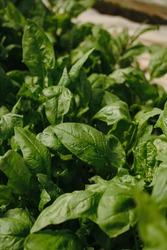 Green spinach leafs leaf close up on the sunny organic garden.