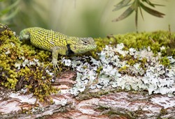 Green spiny lizard with colorful reptile texture is resting on mossy wood.