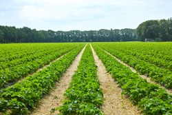 Green spring fields with rows of organic strawberry plants