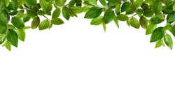 Green spring leaves for top border isolated on white background