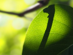 green spring sheet on the skylight of the sun with a shadow from the twig, the texture of greenery, horizontal image with a blurred background and soft focus, a place for text, the concept of spring,