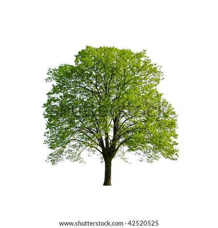 Green Spring Tree isolated on white
