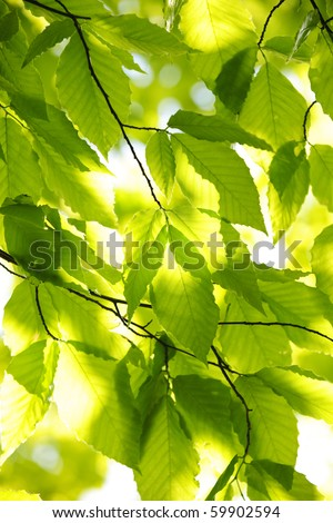 Green spring tree leaves in sunshine, natural background - stock photo