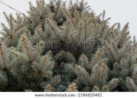 Green spruce branch. Beautiful branch of spruce