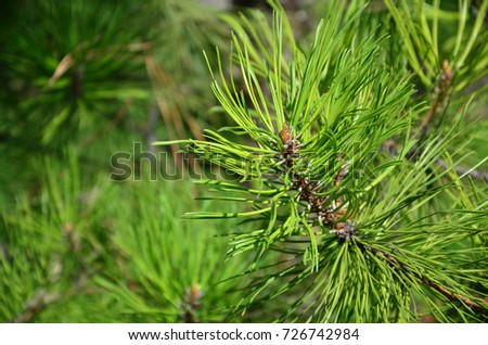 Green spruce branch in Sunny weather in the daytime outdoors. Floral background image with blurred background #726742984