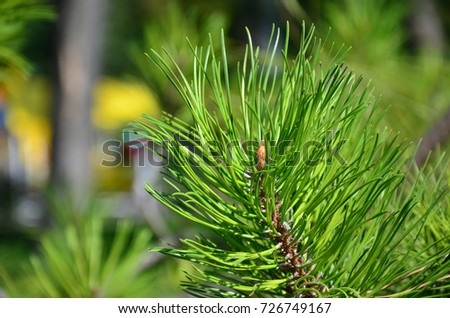 Green spruce branch in Sunny weather in the daytime outdoors. Floral background image with blurred background #726749167