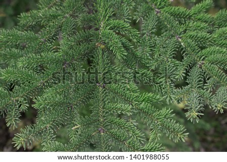 Green spruce branch; textured background; green spruce, white spruce or blue spruce #1401988055