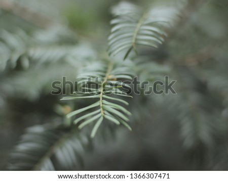 Green spruce branches as a textured background. Green spruce, white spruce or Colorado blue spruce. Fir tree brunch close up. Shallow focus. Fluffy fir tree brunch close up. Christmas wallpaper concep