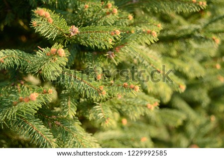 Green spruce branches. Background from spruce branches. Green spruce. Natural floral background. #1229992585