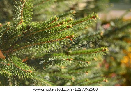 Green spruce branches. Background from spruce branches. Green spruce. Natural floral background. #1229992588