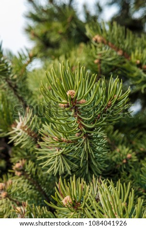 Green spruce branches close-up.Background of Christmas tree branches. #1084041926