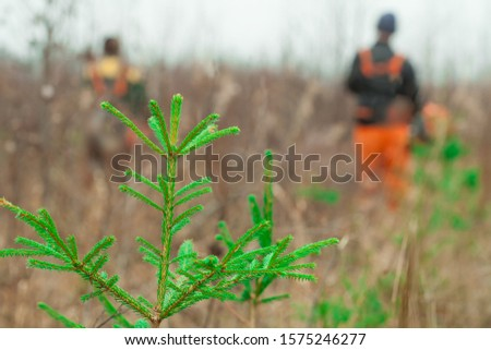Green spruce seedling grows in the forest. In the background, forest workers are working with trimmers. Forest care work. Forestry and afforestation. Stock photo ©