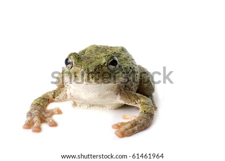 Green, staring tree frog isolated on white