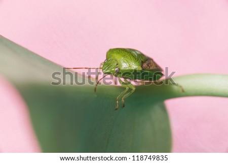 Green Stink Bug - stock photo