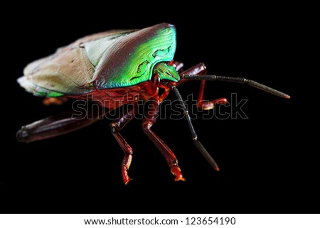 Green Stink Bug isolated on black