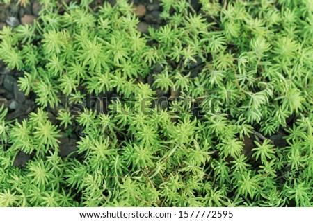 green stonecrop lineare / Sedum lineare