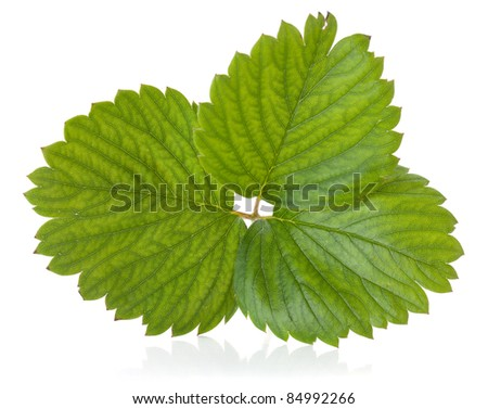 Green strawberry leaf. Isolated on white background