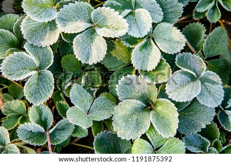 Green strawberry leaves covered with ice crystals, frost on the plants, freeze close-up #1191875392