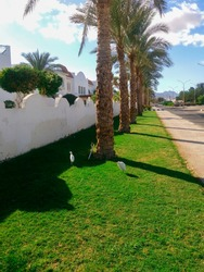 Green street with palm trees and birds in sunny weather. Sharm el Sheikh at the southern tip of the Sinai Peninsula on the Red Sea coast of the Egyptian Riviera.