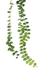 Green succulent leaves hanging climber plant (Dischidia sp.) isolated on white background, clipping path included.