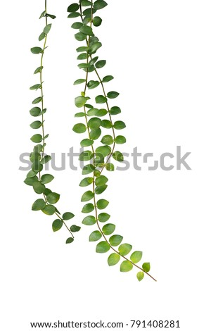 green succulent leaves hanging...