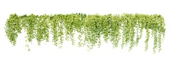 Green succulent leaves hanging vines ivy bush climbing epiphytic plant (Dischidia sp.) after rain in tropical rainforest garden isolated on white background, nature backdrop with clipping path.