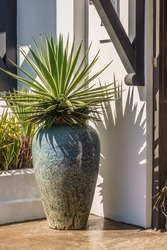 Green succulent, maybe an agave, in a tall vase planter by building entrance on a sunny afternoon in a beach town along the Gulf Coast of Florida, for motifs of gardening and landscaping