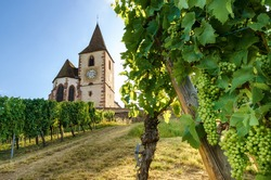Green summer bunches of grapes near the medieval church of Saint-Jacques-le-Major in Hunawihr, village between the vineyards of Ribeauville, Riquewihr and Colmar in Alsace wine making region of France
