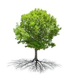 green summer oak tree isolated on white background