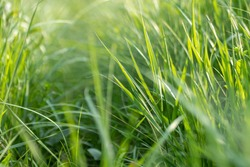 Green summer wild grass growth weed details close-up on sunny day in vivid bright colors background