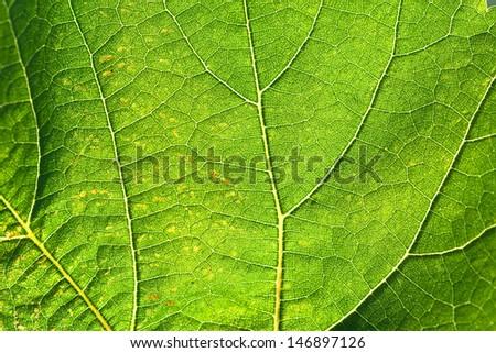 green summery natural rich background - vine leaf
