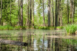 Green swamp in the forest. Landscape image on sunny summer day. Stock photo