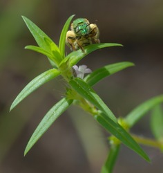 Green sweat bee full of pollen on green plant