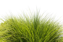 Green tall grass leaves over white sky background