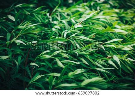 Green, tall para grass or buffalo grass in a field as background #659097802