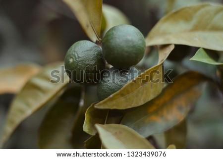 green tangerines grow on a branch. tangerine tree #1323439076