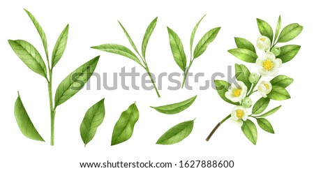 Green tea blooming branch isolated on a white background.Tea leaves, flowers,buds,stems.Asian medical plant.Raw materials for black, green and white tea.Antioxidant herb.Watercolor food illustration