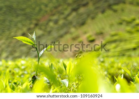 Green tea bud and fresh leaves at tea plantations.
