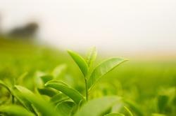 Green tea bud and fresh leaves. Tea plantations.