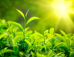 Green tea bud and leaves. Tea plantations, Kerala, India
