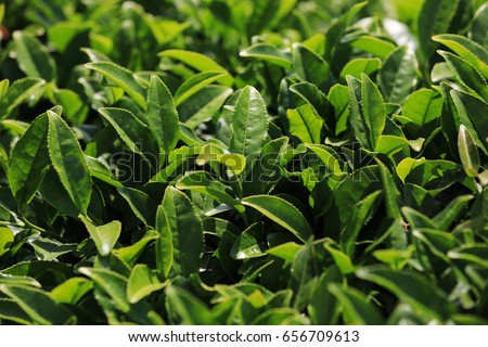 Green tea field #656709613