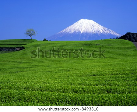Green tea fields and Mount Fuji
