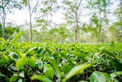 Green tea garden of Assam grown in lowland and Brahmaputra River Valley, Golaghat. Tea plantations