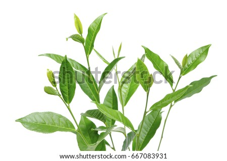 green tea leaf #667083931