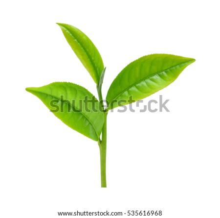 green tea leaf isolated on white #535616968