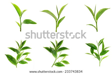 Green tea leaf isolated on white background #233743834