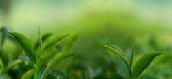 green tea leave, Top of Green tea leaf in the morning, tea plantation, blurred background.
