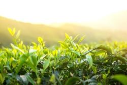 Green tea leaves in a tea plantation in morning , Tea plantations in Cameron highland , Malaysia