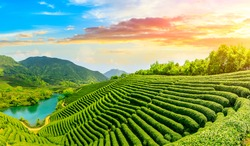 Green tea mountain at sunset,tea plantation background.